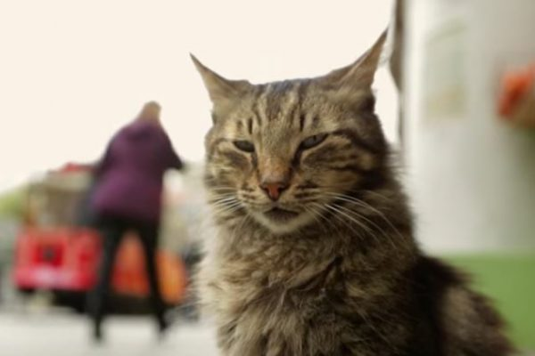 A striped cat fills the frame, a still from Kedi (2016, 80 minutes, not rated), a glimpse into the lives of Istanbul's cats, and the humans attached to these feline wanderers.